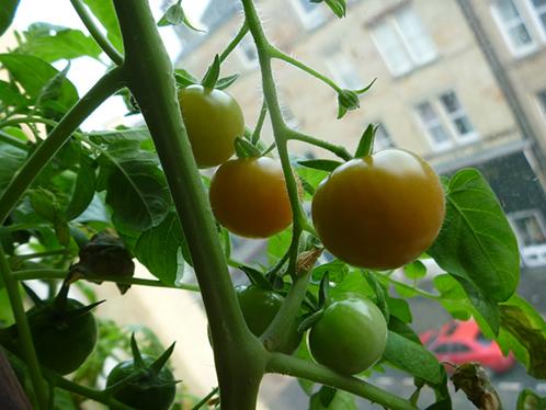 Зимнее выращивание томатов 97