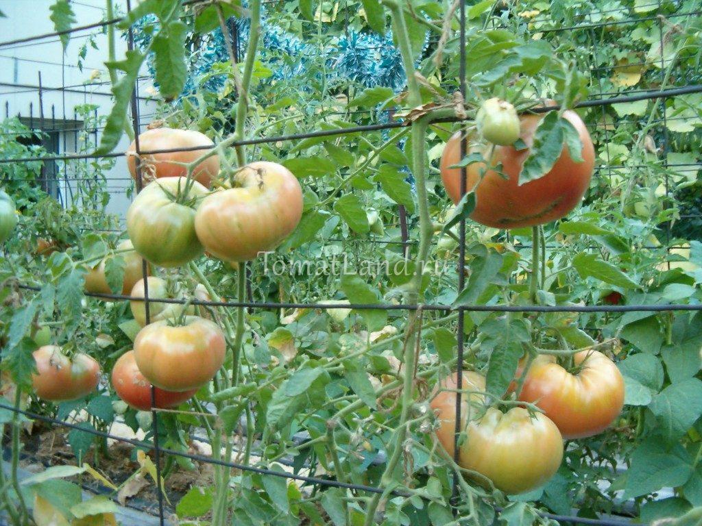 Помидоры. Выращивание томатов. Сорта и рассада 38