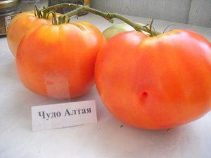 томаты от Бережновых