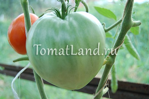 томат сахарный гигант отзывы