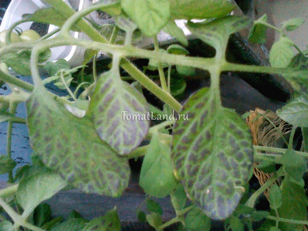 Болезни рассады помидор и описанием