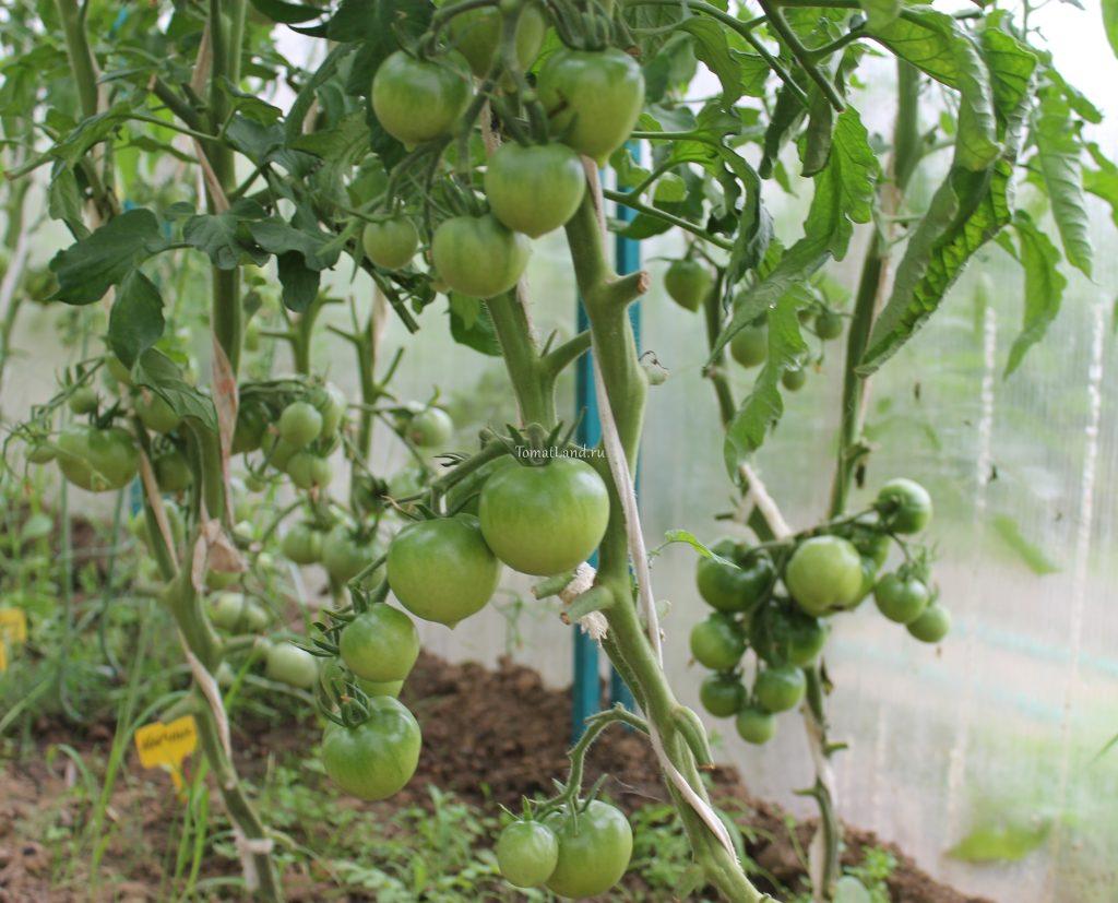помидоры розовое рафаелло фото куста