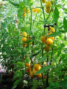 томат де барао желтый