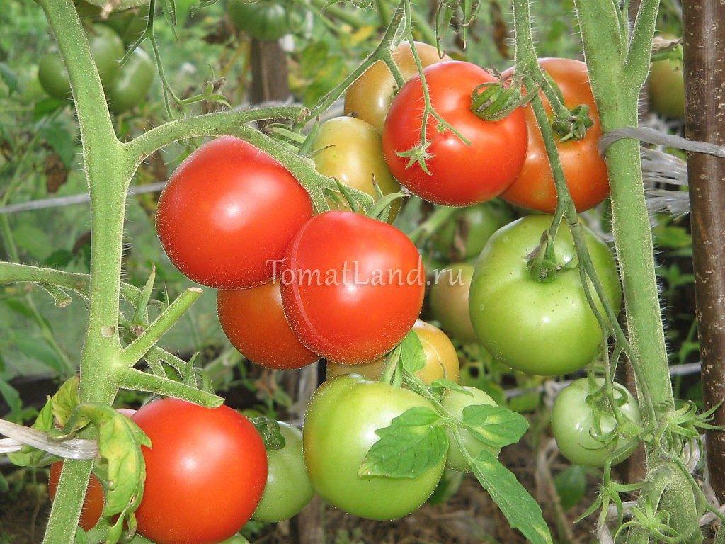 помидоры Евпатор фото спелых плодов