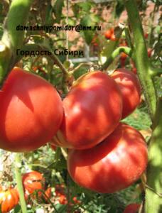 томат гордость сибири