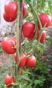 помидоры чудо земли фото куста