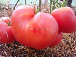 помидоры Батяня сорт