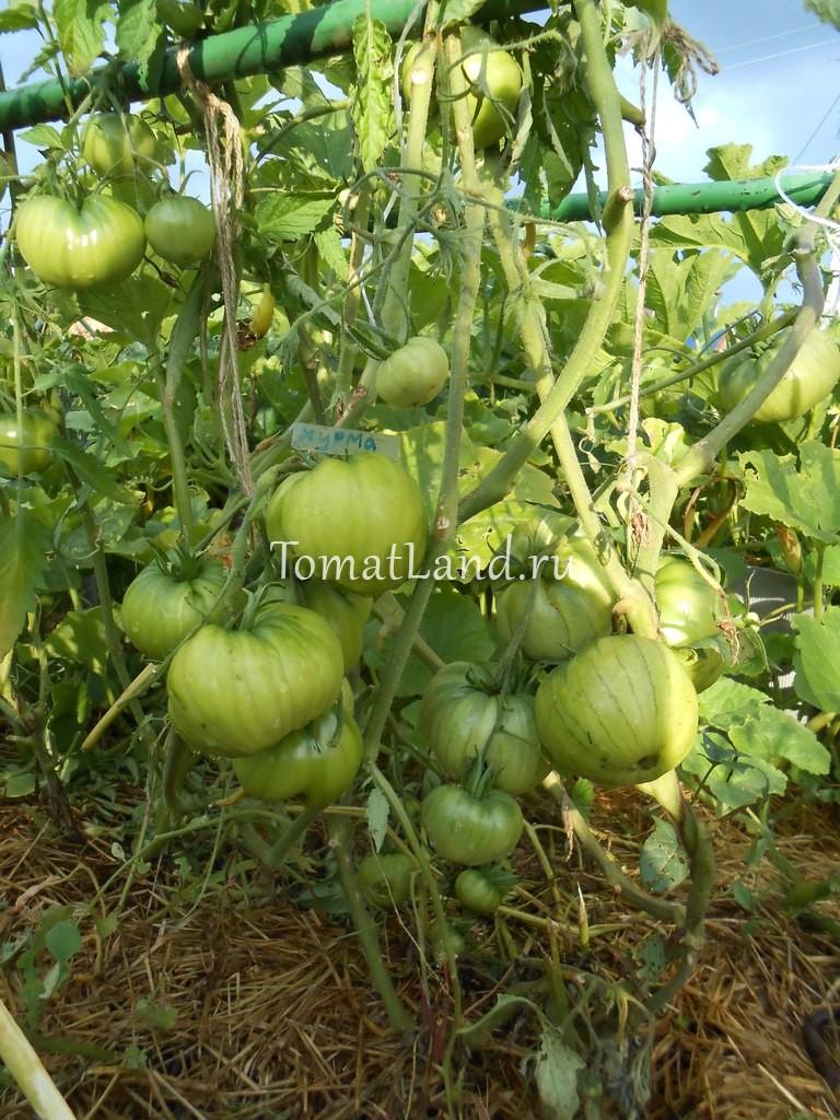 Томат хурма отзывы фото урожайность