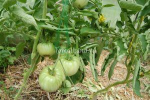 томат бабушкино фото