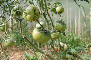 томат темный бренди отзывы