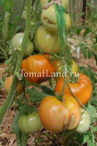 помидоры бабушкино отзывы