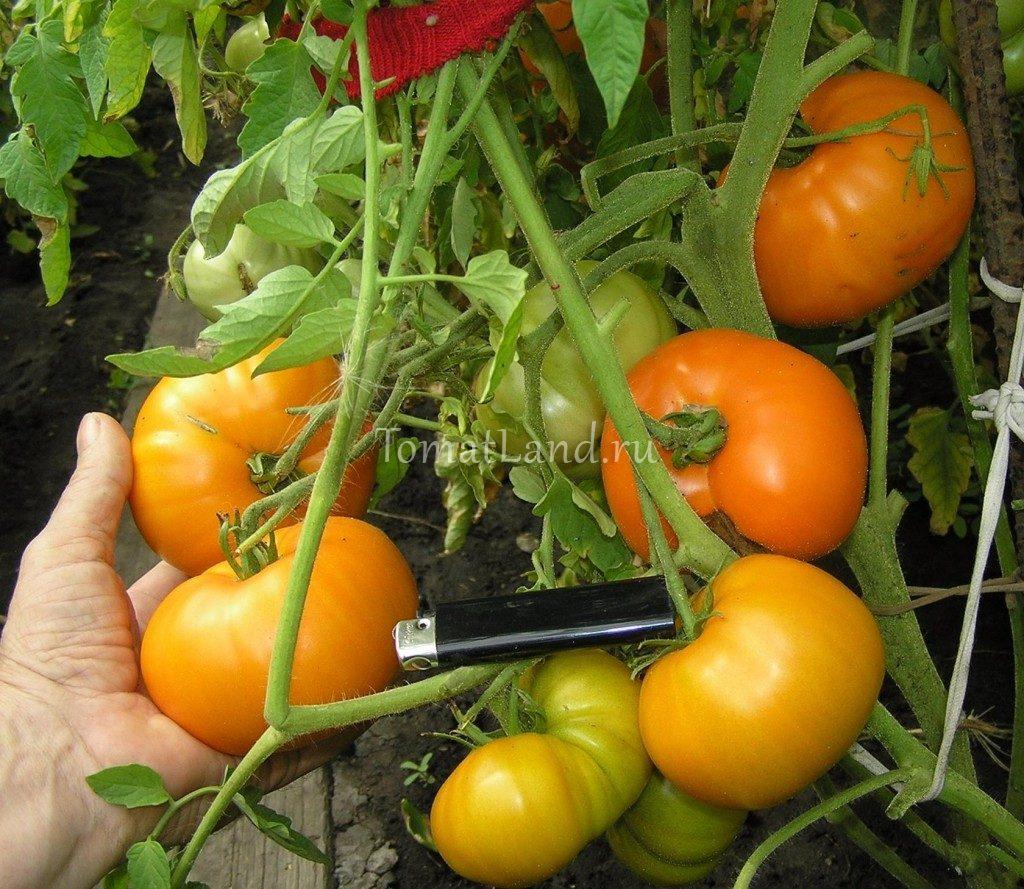 томаты хурма отзывы фото