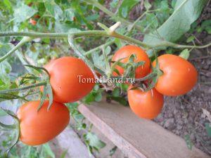 томат леденец фото