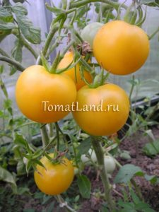 томат сладкий пончик отзывы