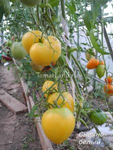 томат снежно-белый отзывы