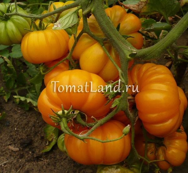 томат сорт Измаильский ребристый фото