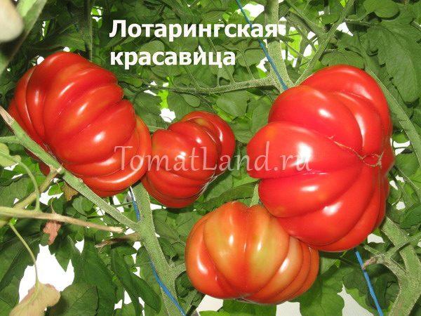 помидоры лотарингская красавица