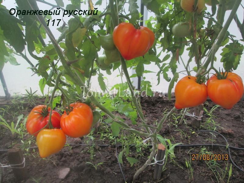 помидоры Оранжевый русский 117 фото