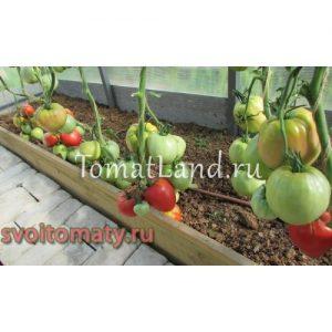 помидоры гигант подмосковья фото