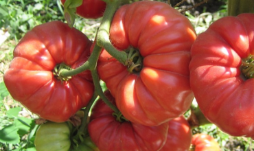 томат любовь ирана