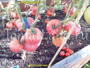 томат малиновый слон