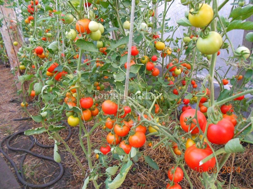помидоры Верлиока фото куста