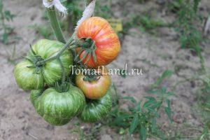 томаты Винтейдж Вайн фото