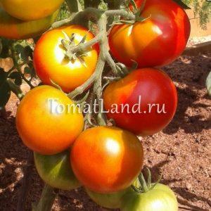 помидоры сорта Дачник фото