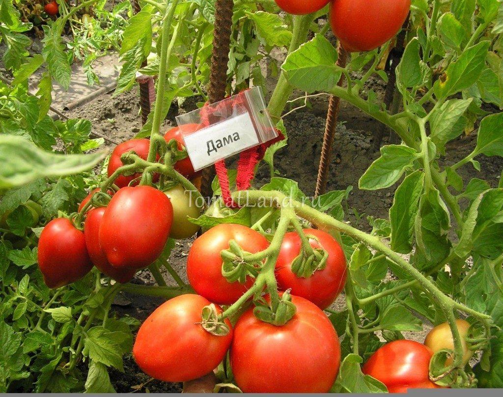 помидоры Дама фото