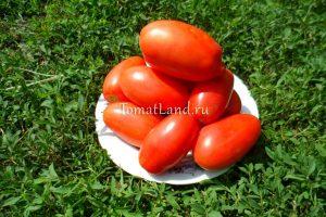 томаты Дама фото куста