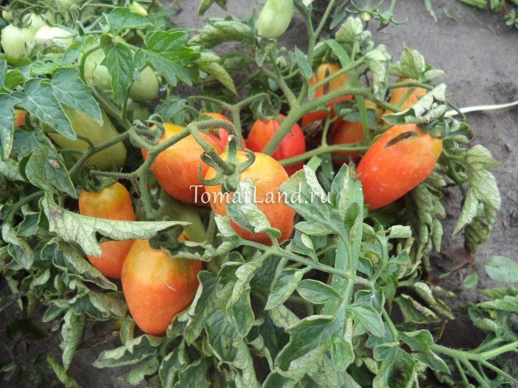 помидоры сорта Дама