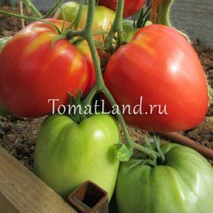 помидоры сорт Гигант Подмосковья отзывы