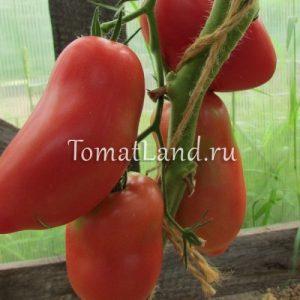 помидоры московская грушовка
