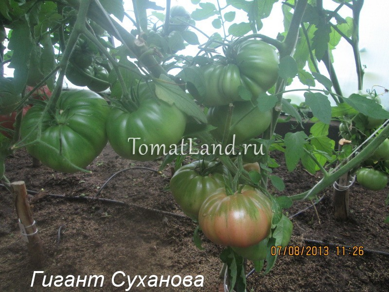 крупноплодные томаты для теплиц фото
