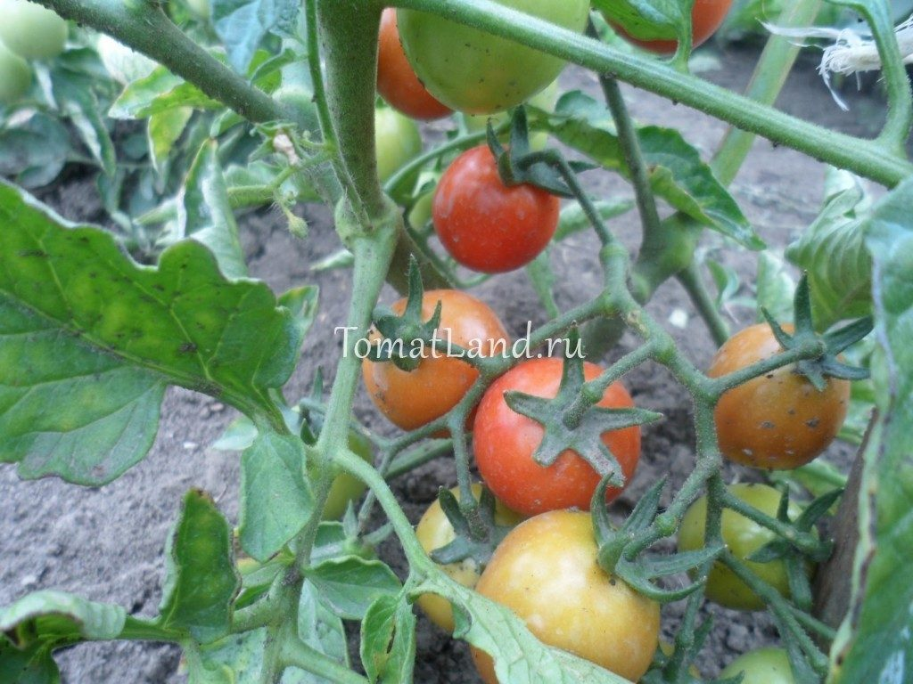 томат иришка отзывы