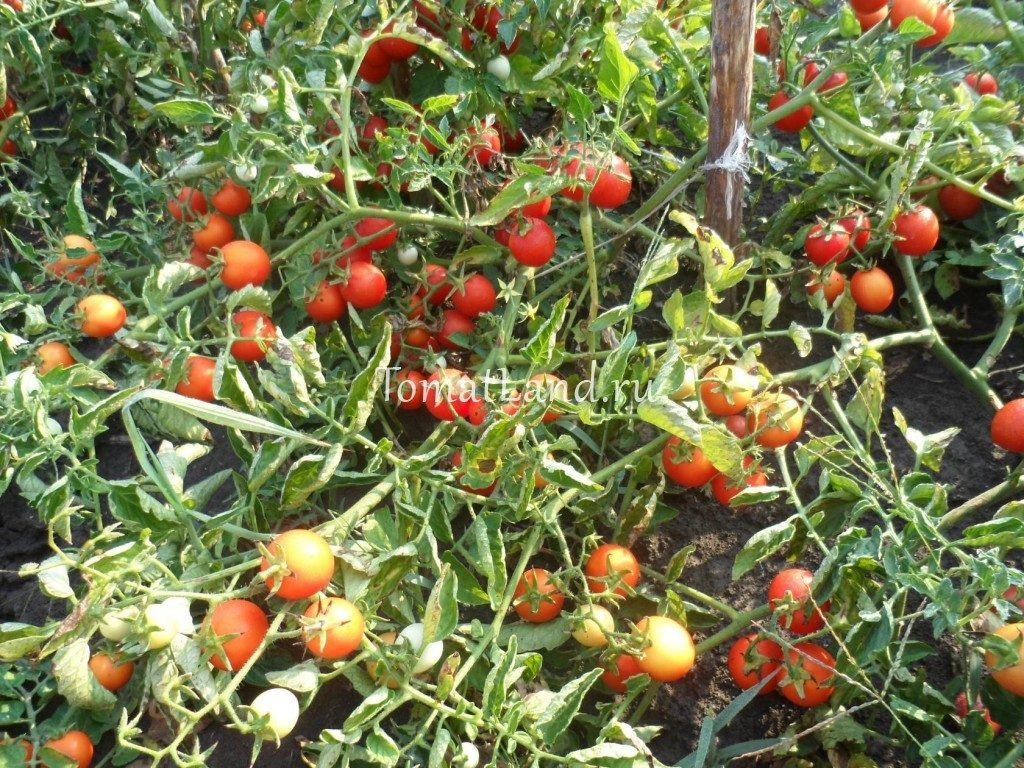 помидоры Иришка фото