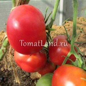 томаты сорт Камнепад отзывы