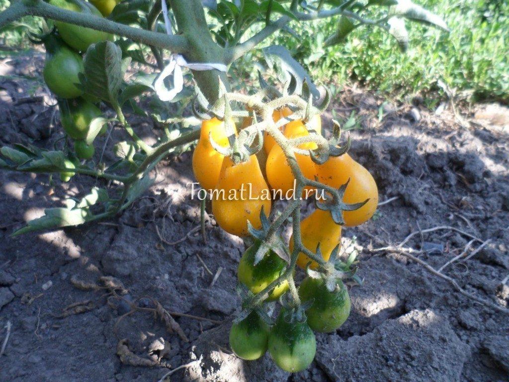 помидор китайская груша кистевые фото
