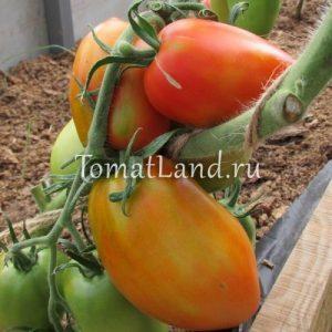 томаты сорт Князь отзывы