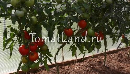 помдоры Кумир фото спелых плодов