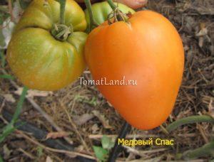 помидоры Медовый спас отзывы