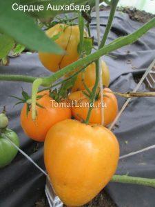 томат сорт Сердце Ашхабада