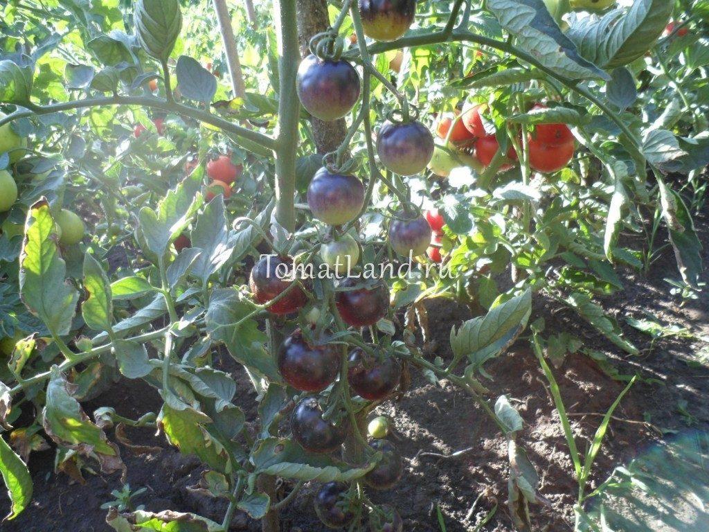 помидоры Сиреневый туман фото