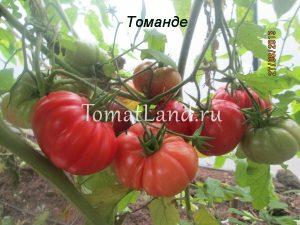 томаты сорт Томанде отзывы
