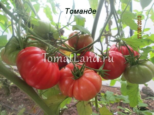 томаты сорт Томанде фото куста