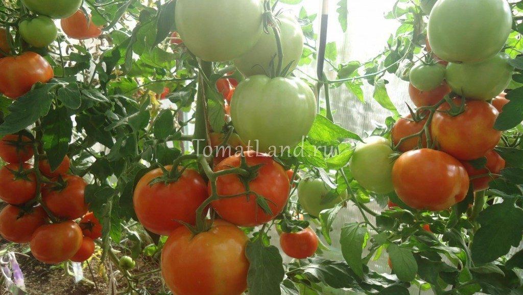 помидоры Краснобай фото