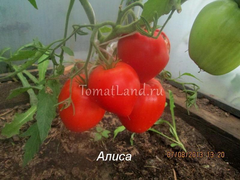 помидоры сорт Алиса фото куста