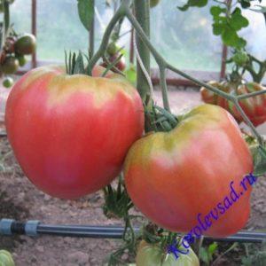 томат Алсу фото куста