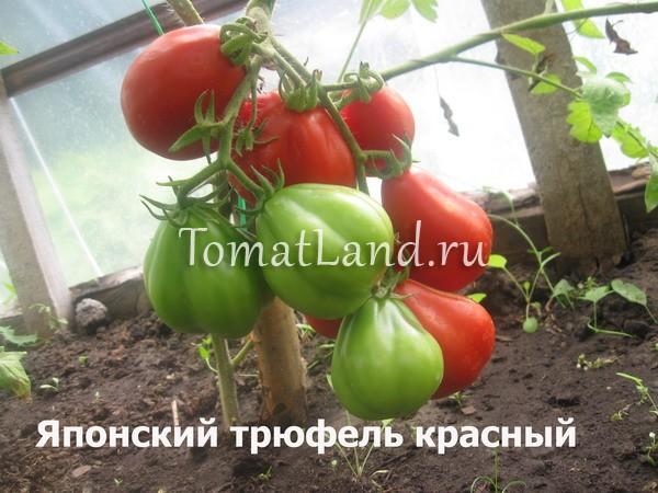 помидоры японский трюфель красный отзывы