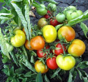 помидоры сорт Бони-М